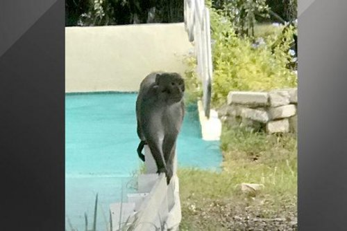 Loose monkey spotted hanging out near Florida bakery