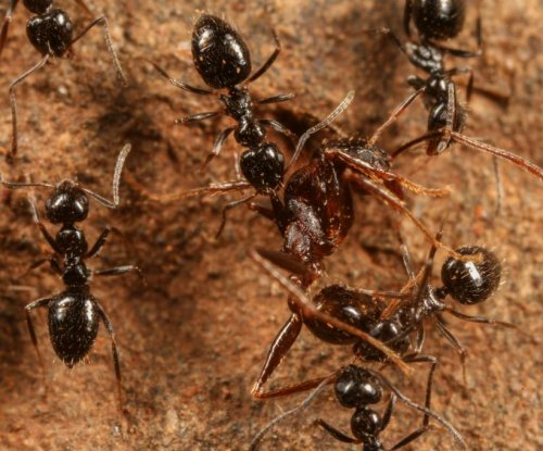 Ethiopian ant species showing signs of dominance, poised for global invasion