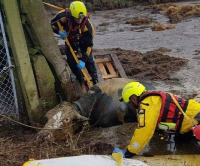 Firefighters rescue escaped cow from drowning in slurry