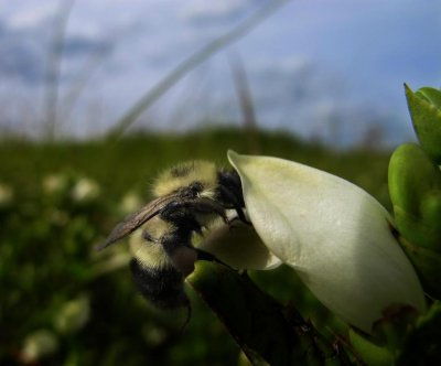 Parasite-infected bees self-medicate in the wild