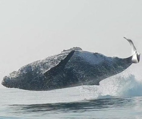 Humpback whale jumps clear out of the water off South Africa