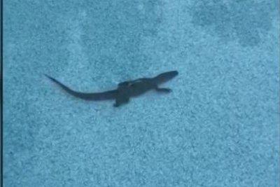 Alabama man finds alligator swimming in backyard pool