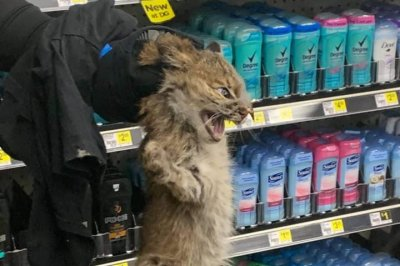 Bobcat wanders aisles of Dollar General store in Kentucky
