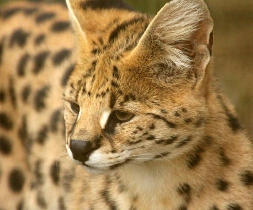 Suspected African serval cat captured in Florida