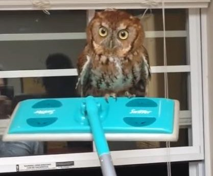 Man screams at owl, uses Swiffer to get it back outside