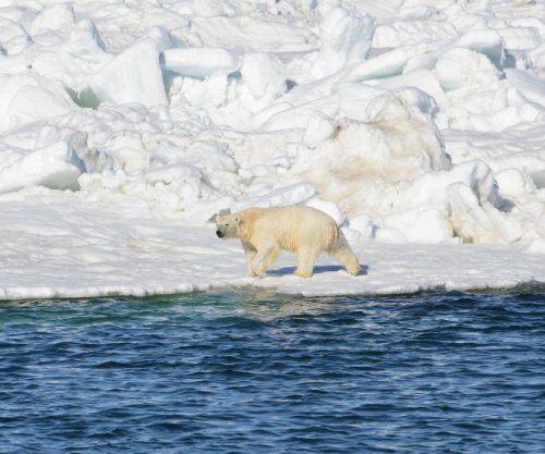 Study: Polar bears unlikely to adapt to land-based foods