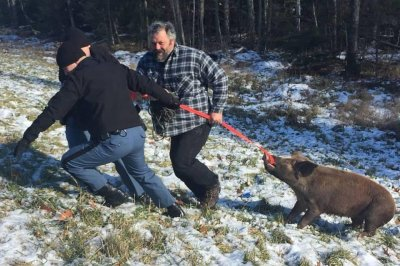 Police wrangle loose pig on Maine highway
