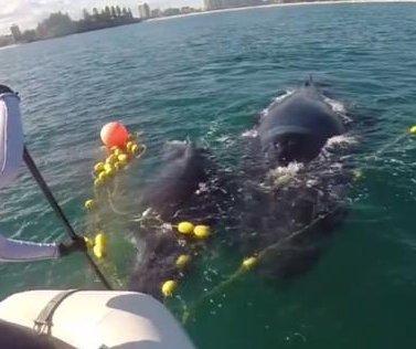 Rescuers free humpback whale calf from shark net in Australia