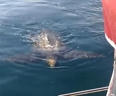Gigantic leatherback turtle visits New Zealand boaters