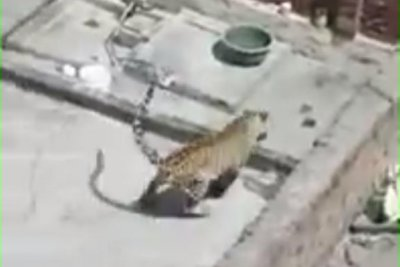 Leopard wanders into neighborhood, enters family's home