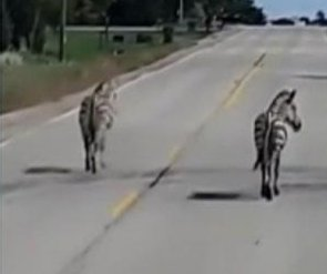 Two escaped zebras captured after wandering into Wisconsin road