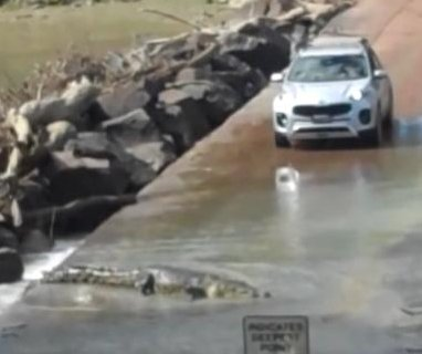 Bridge-crossing crocodile blocks car full of tourists