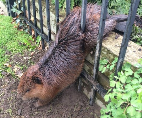 Animal services uses soap to free beaver stuck in iron fence