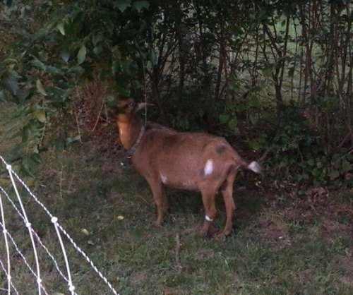 Landscaping goat missing from job in Rhode Island