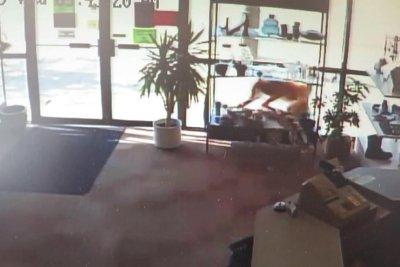 Deer crashes through thrift store in Alberta