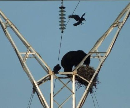 Hungry black bear scales electrical tower, invades raven's nest