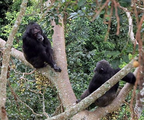Mothers dictate lifelong grooming habits in chimps