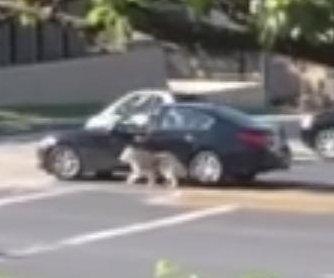 Texas driver caught walking dog through car window