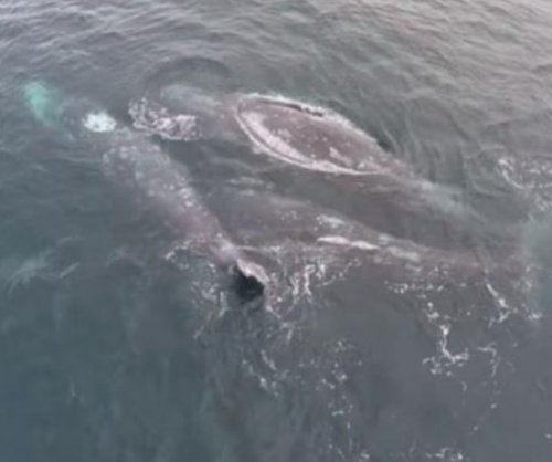 California tour boat captain captures video of gray whales mating