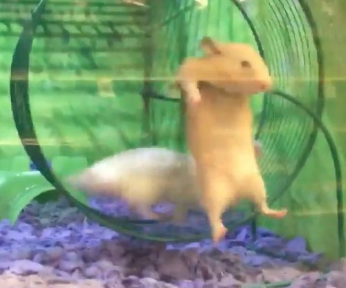 Unlucky hamster gets stuck on side of running wheel