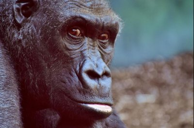 Skull study suggests pre-humans weren't as bright as modern apes
