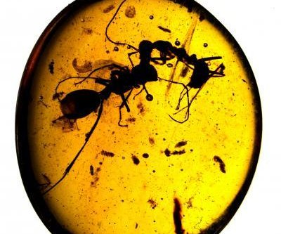 Ants have been fighting and cooperating for 100 million years