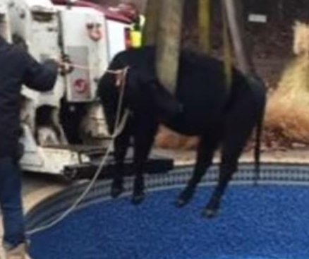 Cow hoisted from Oklahoma family's pool in 'MOOving' rescue