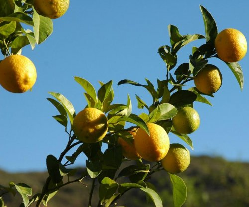 Roots of Italian mafia may lie in lemon industry