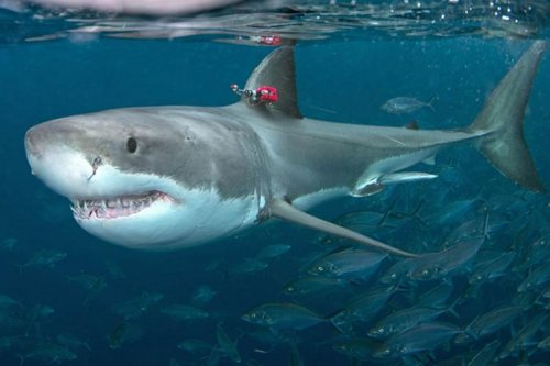 Great white sharks are capable of high speeds but prefer to mosey