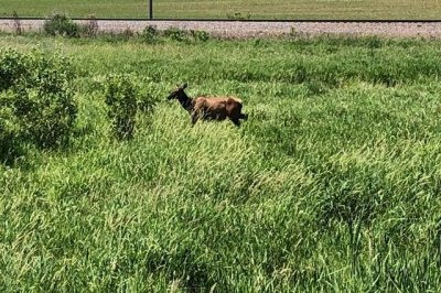 Escaped elk runs loose next to Wisconsin highway before capture