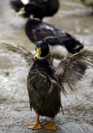 Iraq veteran cited by Ohio town for having therapy ducks he uses to help with PTSD