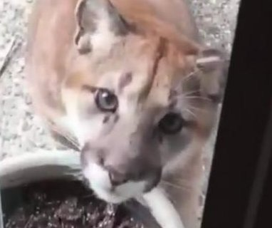 Curious cougar walks up to resident's door, bares teeth at window
