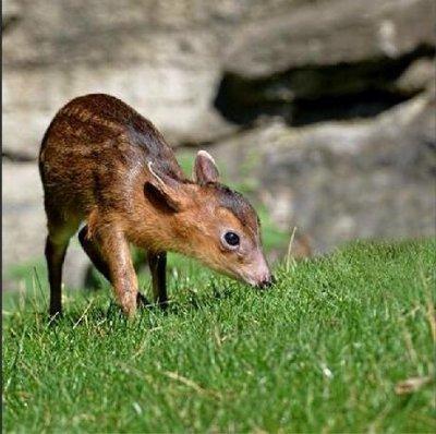 Female 'barking deer' born at N.Y. zoo