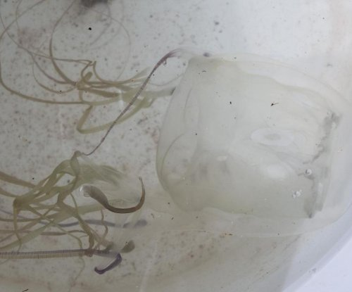 Common jellyfish sting recommendations can make stings worse