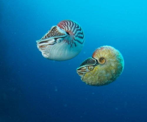 Rare South Pacific nautilus seen after 30-year absence