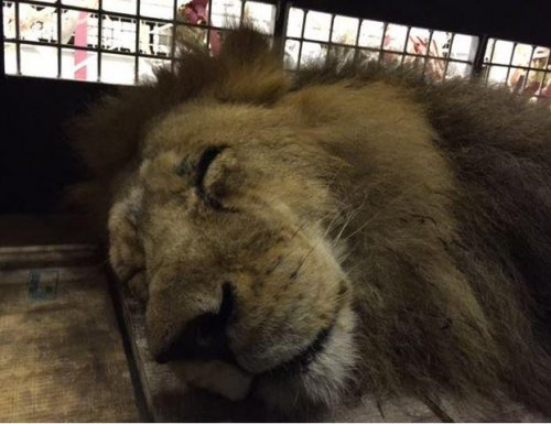 Rescued circus lions flown to South Africa