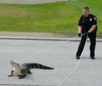 Cowboy cops lasso loose gator in Florida street