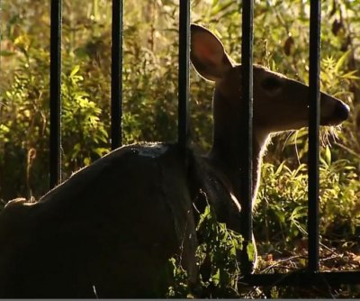 Crews use hydraulic device to rescue deer from metal fence