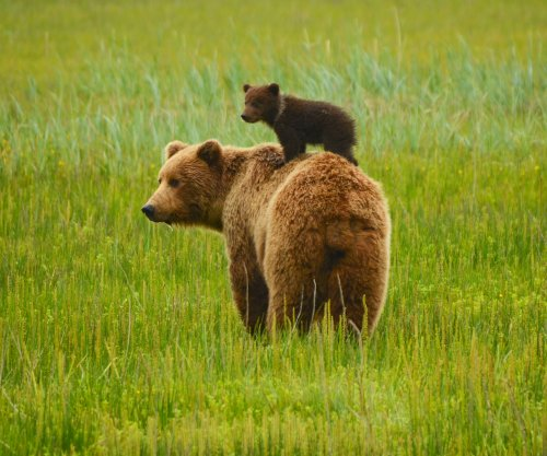 When human food is around, bears don't hibernate as long