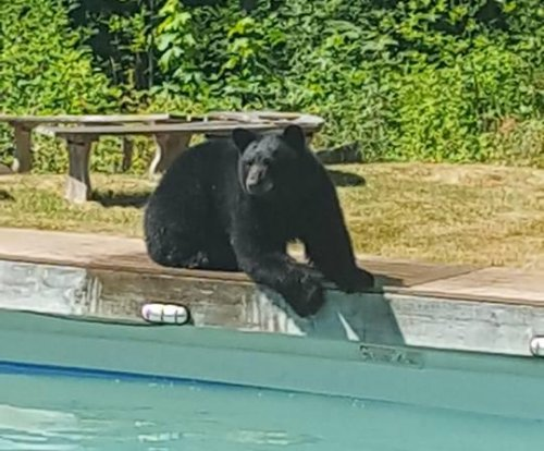 Bear burns bird seed calories with backyard pool swim
