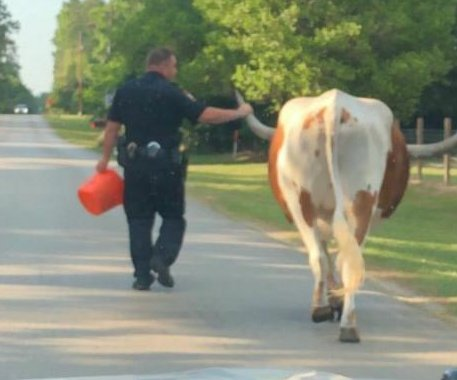 Texas deputy grabs escaped 'bull by the horns'