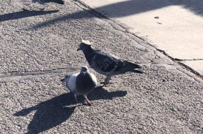 Pigeon spotted in Nevada wearing tiny sombrero