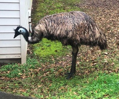 Loose emu captured in South Carolina