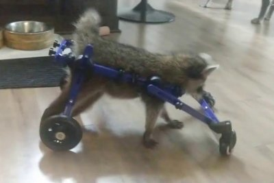 Watch:-Baby-raccoon-recovering-with-help-from-custom-wheelchair