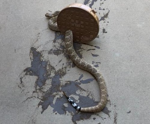 Rattlesnake rescued from sprinkler cover in Arizona