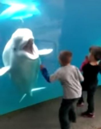 Video shows aquarium beluga either playing with children or begging for help
