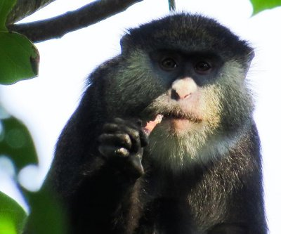 African monkeys documented eating bats