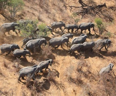 Great Elephant Census details plight of African savanna elephants