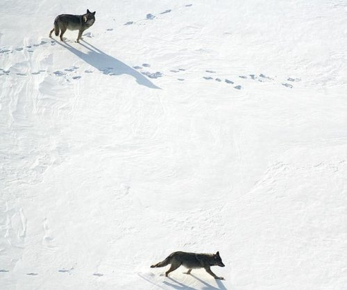 Can coyotes fill the ecological gaps left by lost wolf populations?