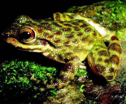 Four new tooth-frog species discovered in West African forests